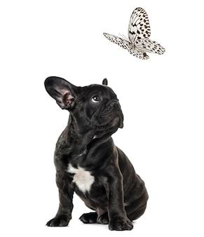 Cucciolo bulldog francese nero guardando una farfalla in bianco e nero, isolata su bianco