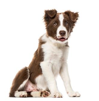Cucciolo di border collie, isolato su bianco