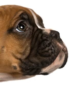 Puppy boxer, 2 mesi, guardando in alto