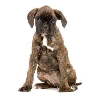 Boxer cucciolo