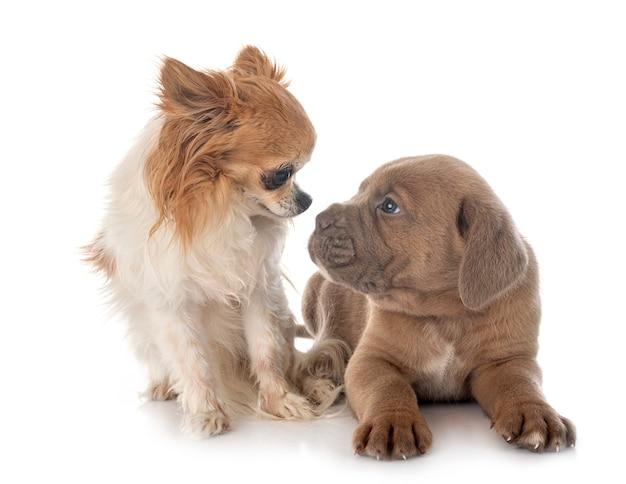 Cucciolo di canna corso e chihuahua