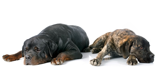 Cucciolo di cane corso e rottweiler