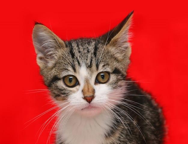Cucciolo di gatto su sfondo rosso