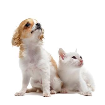 Cucciolo di chihuahua e gattino