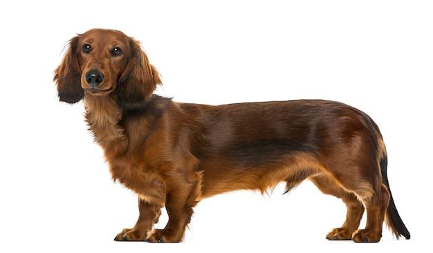 Condizione del bassotto tedesco del cucciolo, isolata su bianco