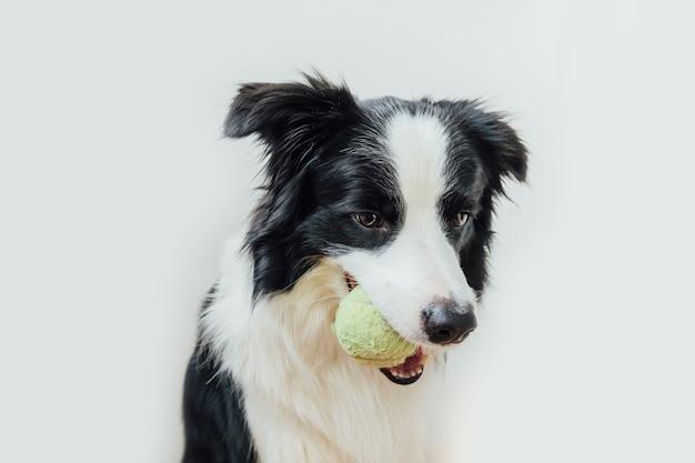 Cucciolo di cane border collie tenendo palla giocattolo in bocca isolati su sfondo bianco