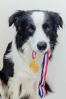 Cucciolo di cane border collie che tiene la medaglia del trofeo d'oro vincitore in bocca isolata