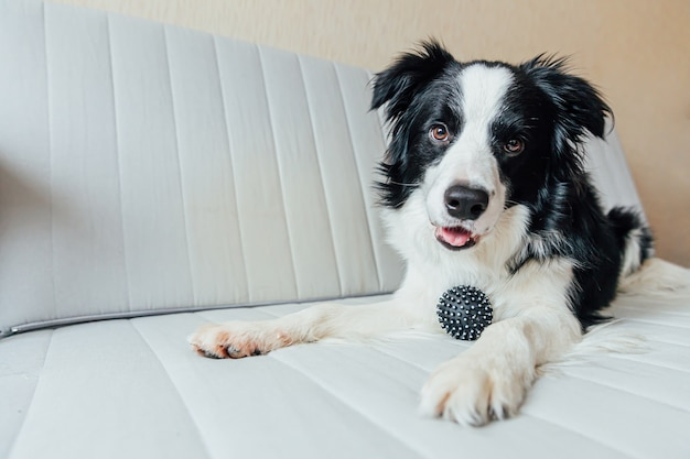 Border collie di cane cucciolo che gioca con la palla giocattolo sul divano al chiuso