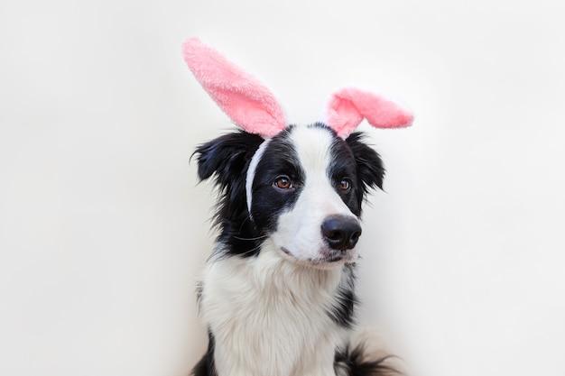 Cucciolo di cane border collie indossando le orecchie del coniglietto di pasqua isolati su sfondo bianco