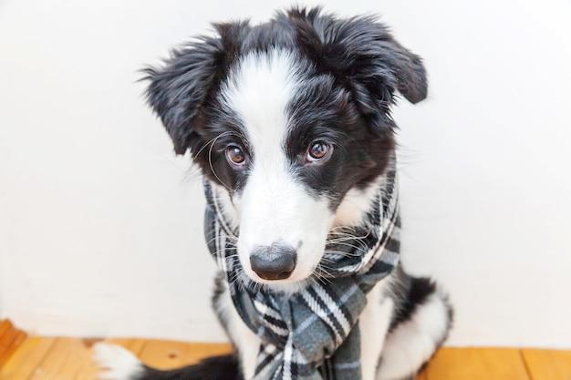 Cucciolo di cane border collie indossando vestiti caldi sciarpa intorno al collo indoor
