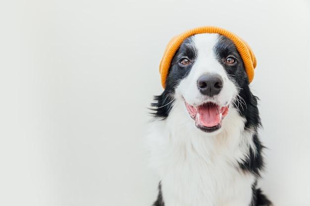 Border collie di cane cucciolo che indossa cappello giallo caldo vestiti lavorati a maglia isolato su priorità bassa bianca