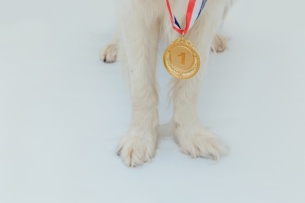 Cucciolo di cane pwas border collie con vincitore o campione medaglia d'oro trofeo isolato su sfondo bianco. cane campione vincitore. vittoria primo posto della competizione. concetto vincente o di successo.