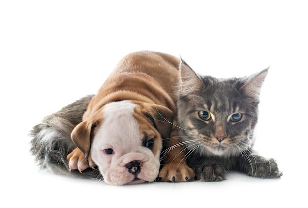 Bulldog inglese e gatto del cucciolo davanti a fondo bianco