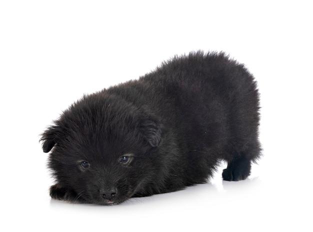 Cucciolo finlandese lapphund