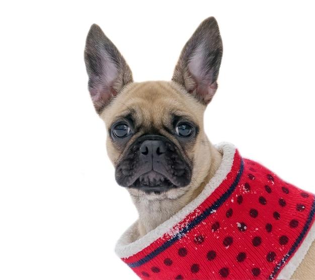 Cucciolo di bulldog francese in vestiti su priorità bassa isolata