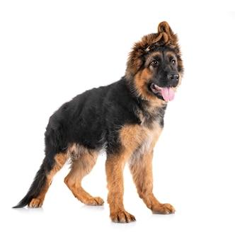 Pastore tedesco del cucciolo davanti a fondo bianco