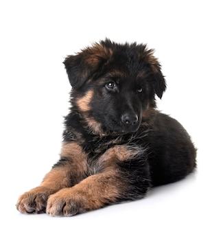 Pastore tedesco del cucciolo isolato su bianco