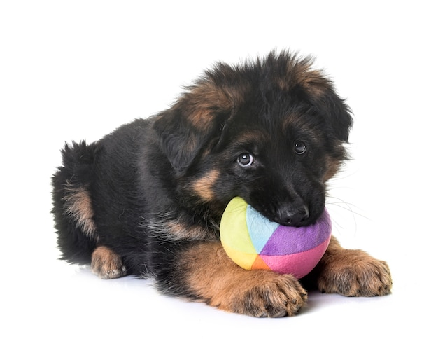 Pastore tedesco del cucciolo isolato