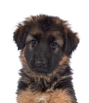 Pastore tedesco del cucciolo su fondo bianco