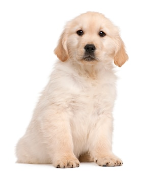 Puppy golden retriever (20 settimane)
