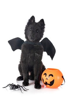 Cucciolo groenendael cane davanti a uno sfondo bianco
