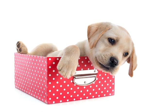 Cucciolo labrador retriever in scatola