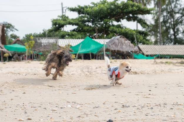 Cucciolo di pomerania che gioca con gli amici sulla spiaggia