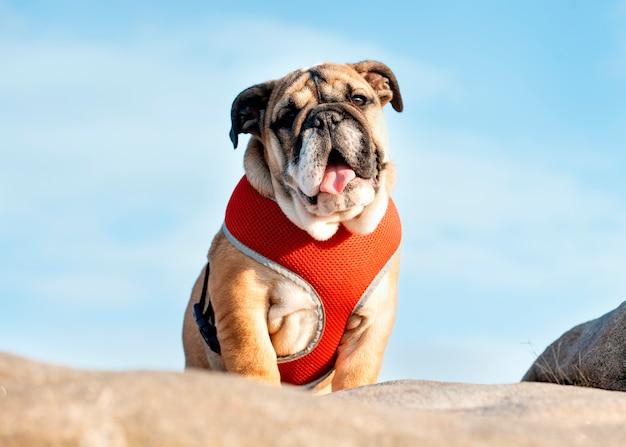 Cucciolo di bulldog inglese rosso in cablaggio rosso fuori per una passeggiata in piedi sulla pietra contro il cielo blu