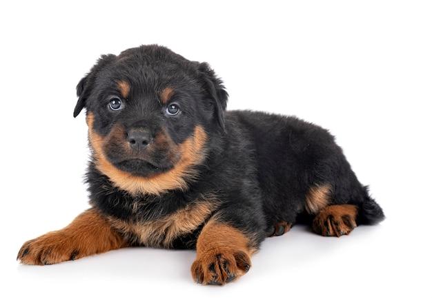 Rottweiler del cucciolo davanti a fondo bianco
