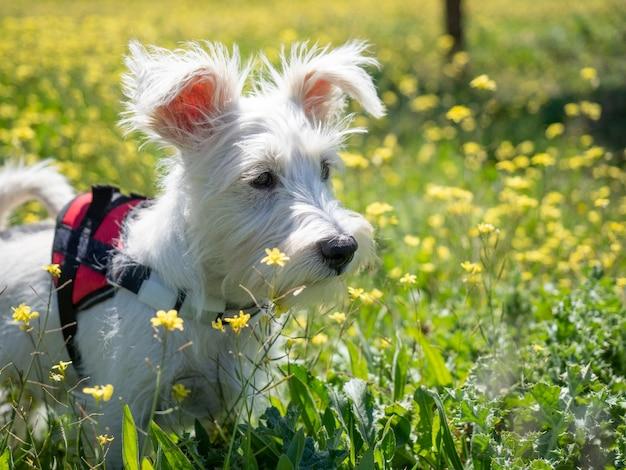 Cucciolo di schnauzer cucciolo di colore bianco e con imbracatura rossa guarda da vicino