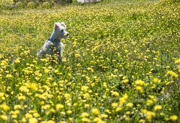 Lo schnauzer del cucciolo nel colore bianco posa in un campo con i fiori gialli