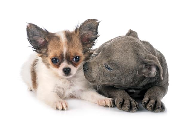 Cucciolo staffordshire bull terrier e chihuahua