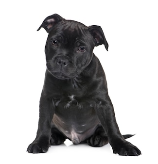 Cucciolo staffordshire bull terrier con 2 mesi. ritratto di cane isolato
