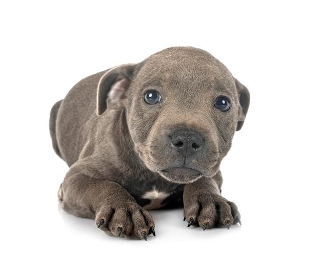 Cucciolo staffordshire bull terrier