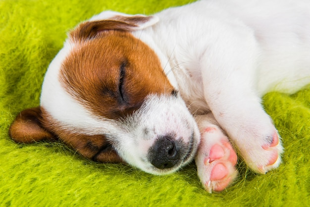 Cucciolo che dorme dolcemente sul divano, il cane si ammala. cucciolo divertente di jack russell terrier cane è sdraiato sullo sfondo verde.