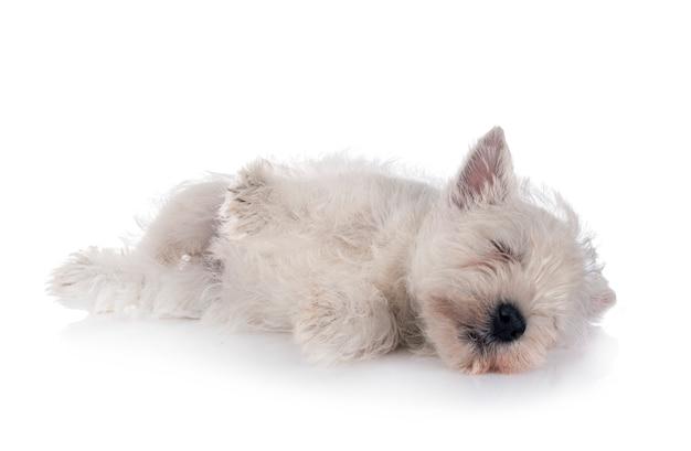 Cucciolo west highland white terrier davanti al bianco