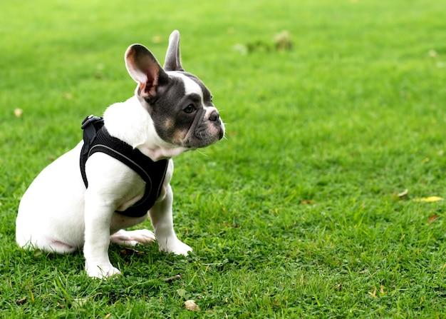 Cucciolo di bulldog francese bianco fuori per una passeggiata seduti sull'erba in estate