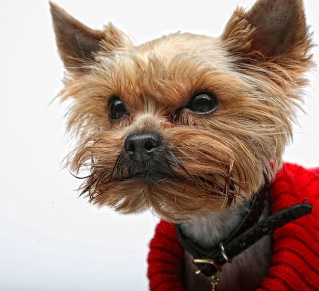 Yorkshire terrier cucciolo