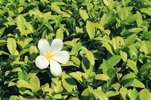 Fiore di frangipani bianco puro caduto su un arbusto verde vivace alla luce del sole