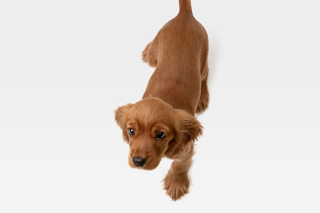 Pura giovinezza pazza. il giovane cane inglese del cocker spaniel sta posando. carino allegro cagnolino o animale domestico bianco-braun sta giocando e sembra felice isolato su sfondo bianco. concetto di movimento, azione, movimento.