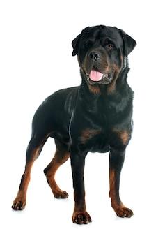 Rottweiler adulto di razza