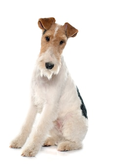 Fox terrier di razza