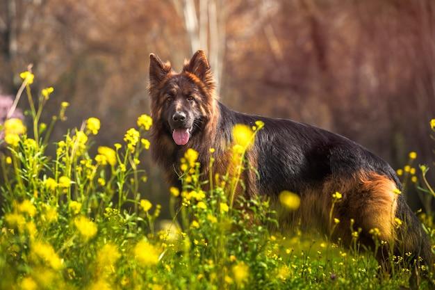 Cane da pastore tedesco di razza in un parco con i fiori gialli un giorno soleggiato.
