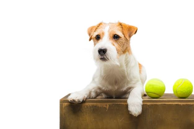 Jack russell di razza che gioca con una pallina da tennis
