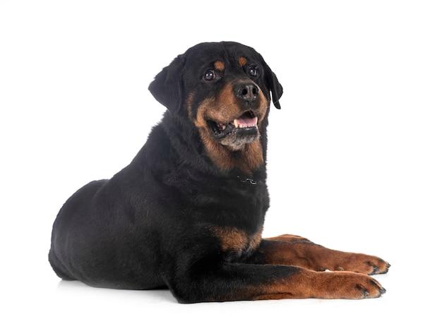 Rottweiler di razza davanti al bianco