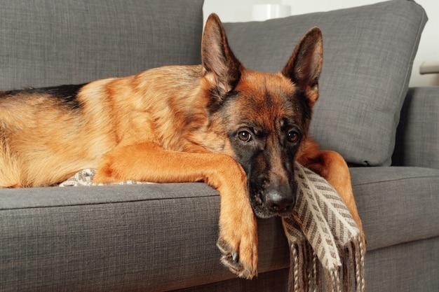Razza giovane cane pastore tedesco sdraiato rannicchiato su un divano in camera da letto. ritratto di un animale domestico.