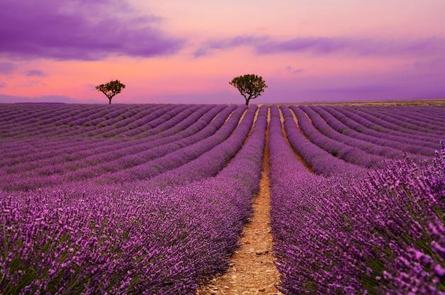 Campo di lavanda in fiore viola al tramonto con un bellissimo cielo panoramico e alberi all'orizzonte