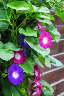 Fiori viola e blu morning glory (ipomoea) rampicanti
