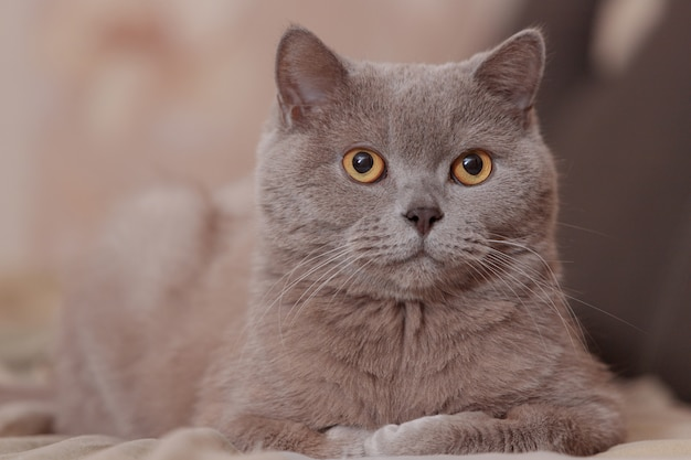 Gatto britannico viola. il gatto giace sul letto. ritratto di un animale domestico.