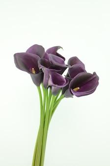Fiore viola della calla su un fondo isolato bianco